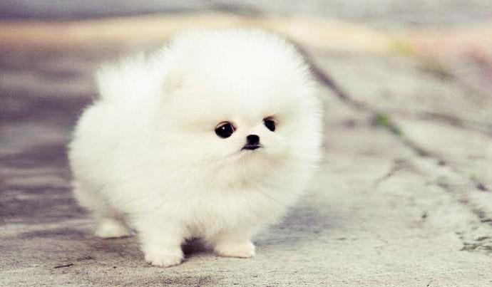 Белый щенок породы шпиц