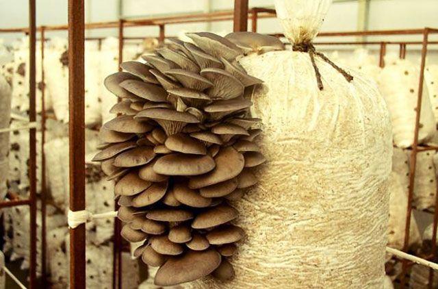 Выращивание грибов-вешанка