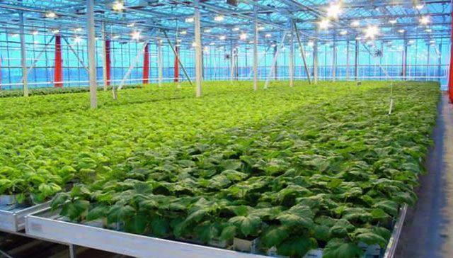 Выращивание зелени в промышленных масштабах