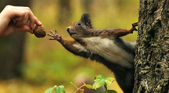 Белочка тянется за орешком из руки