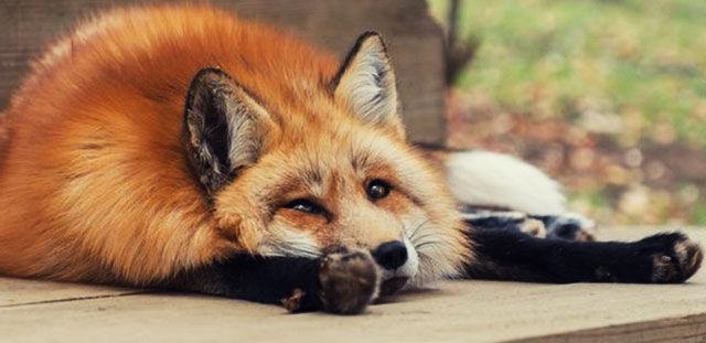 Уставшая лисичка