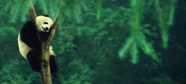 Панда отдыхает - спит на дереве